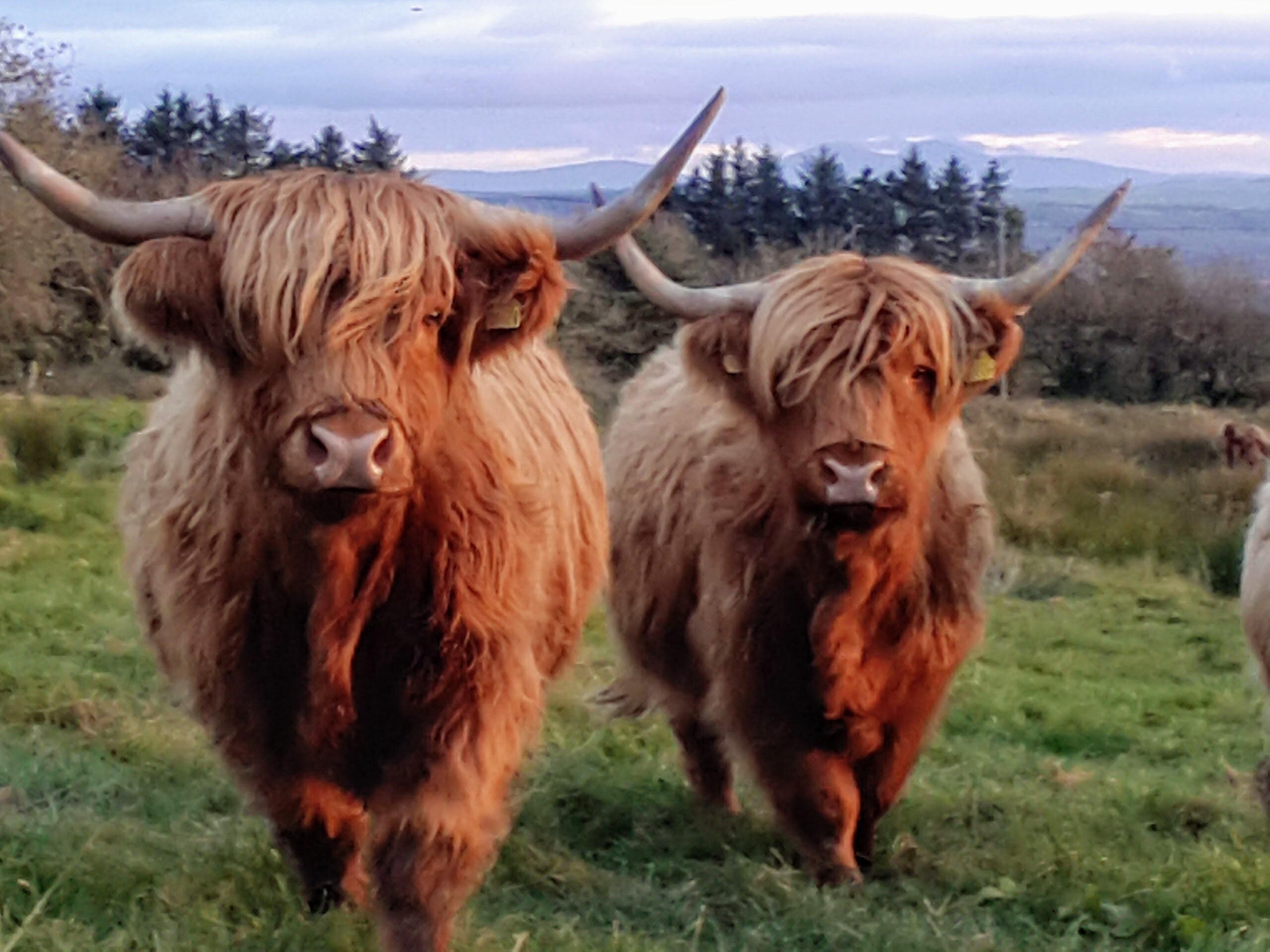 Highland cows at blackfieldfarm.com