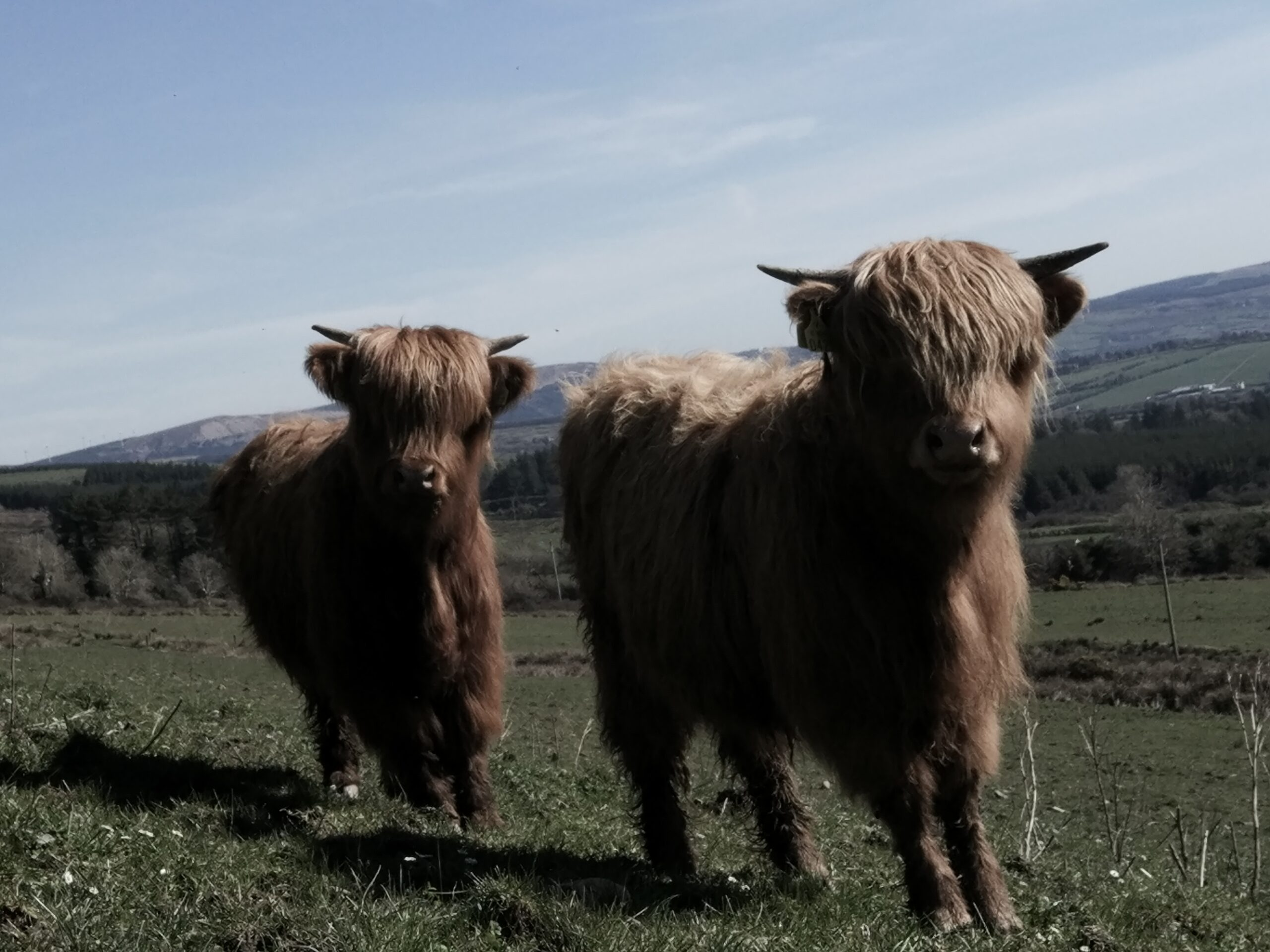 two young highland cattle at blackfieldfarm