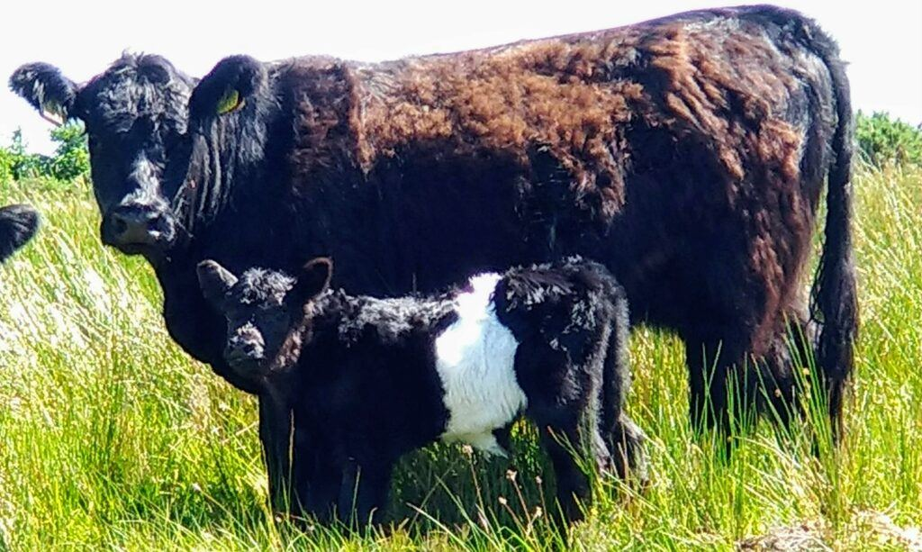 Belted galloway cattle at blackfieldfarm