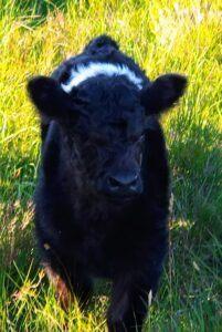 belted galloway calf at blackfieldfarm