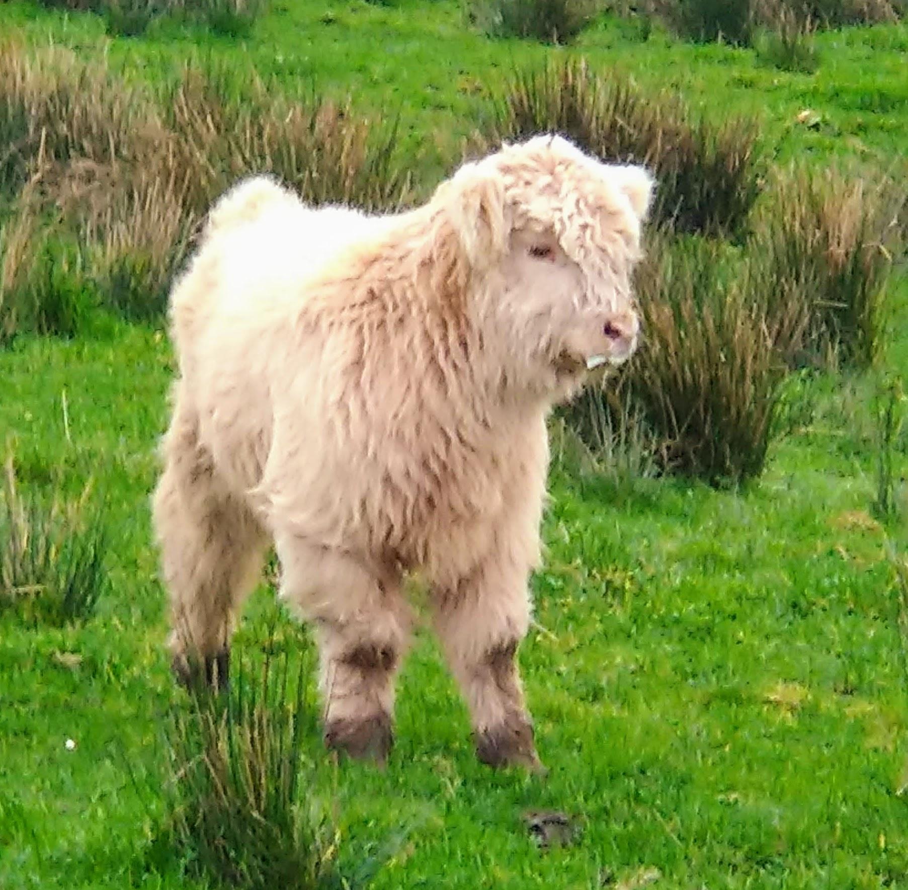 white highland calf at blackfieldfarm.com