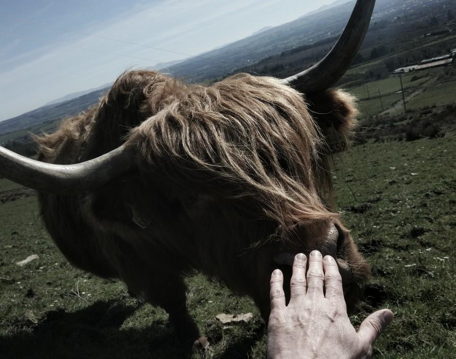 friendly highland at blackfieldfarm.com