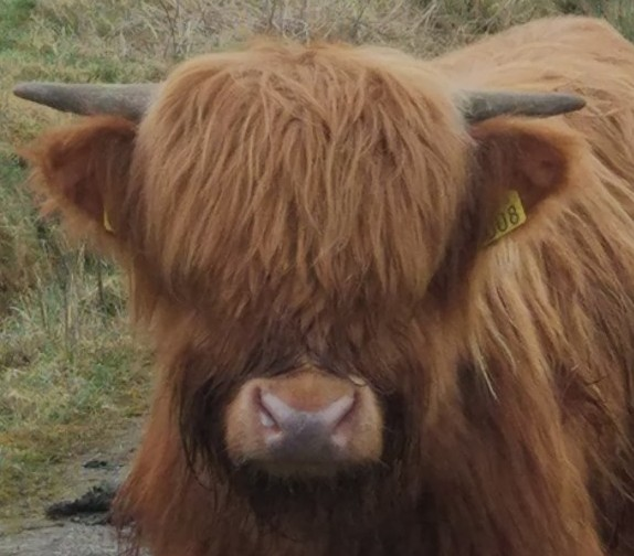 young highland at blackfieldfarm