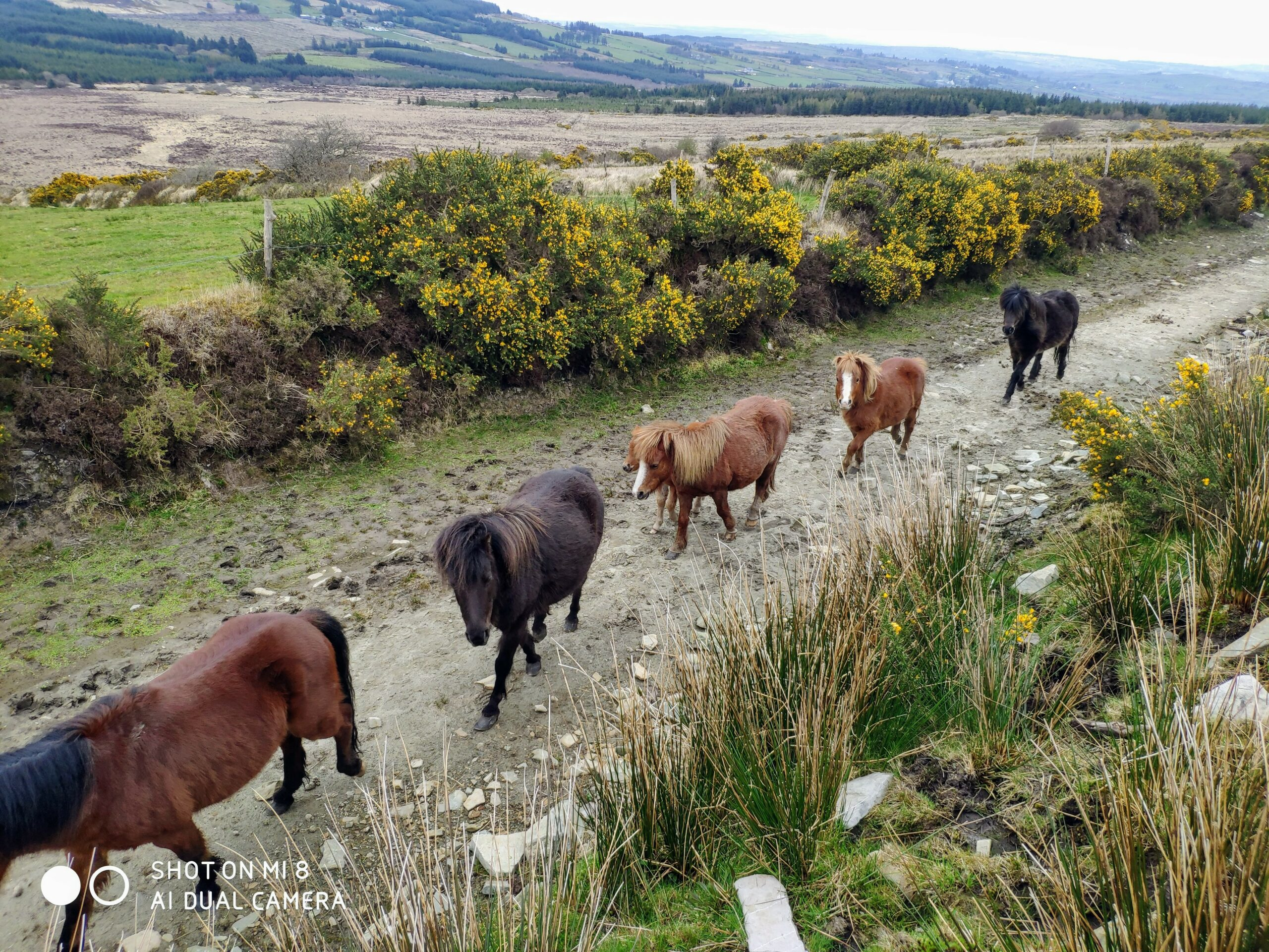kerry bog ponies at blackfieldfarm.com
