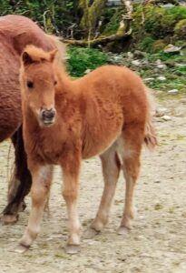 kerry bog pony foal