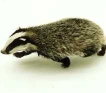 do badgers spread tb
