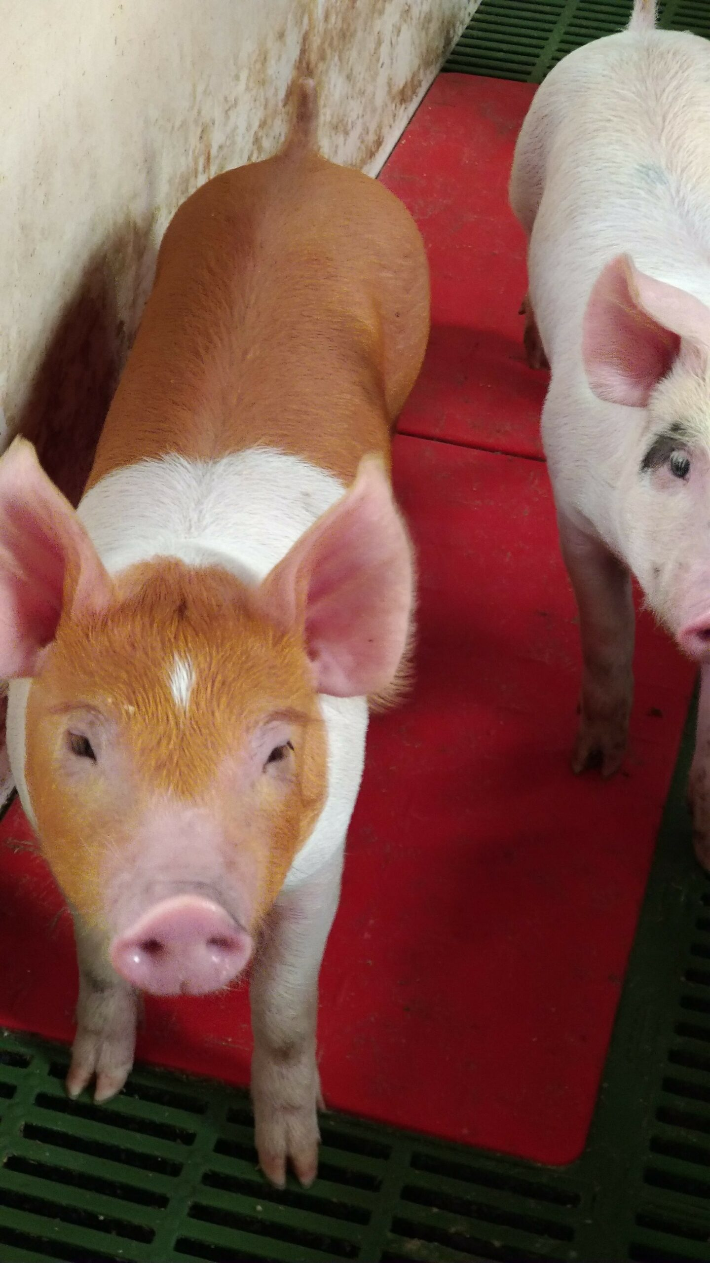 The facts of pig farming