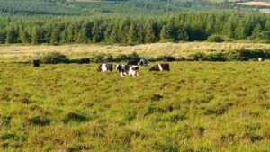 cattle grazing at blackfieldfarm