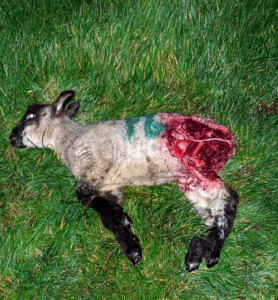 lamb taken by a fox