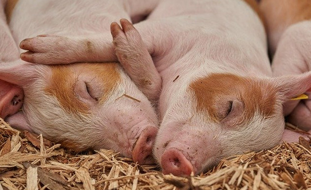 How to care for newborn piglets