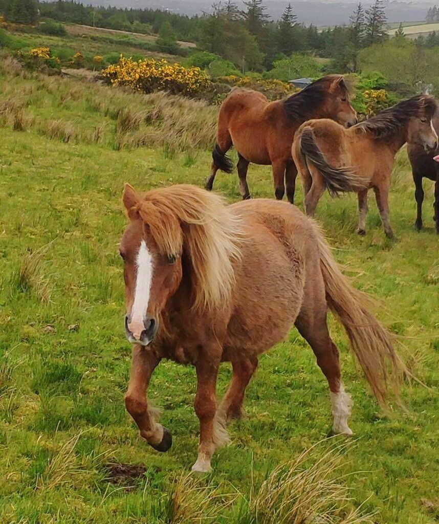 kerry bog pony for sale