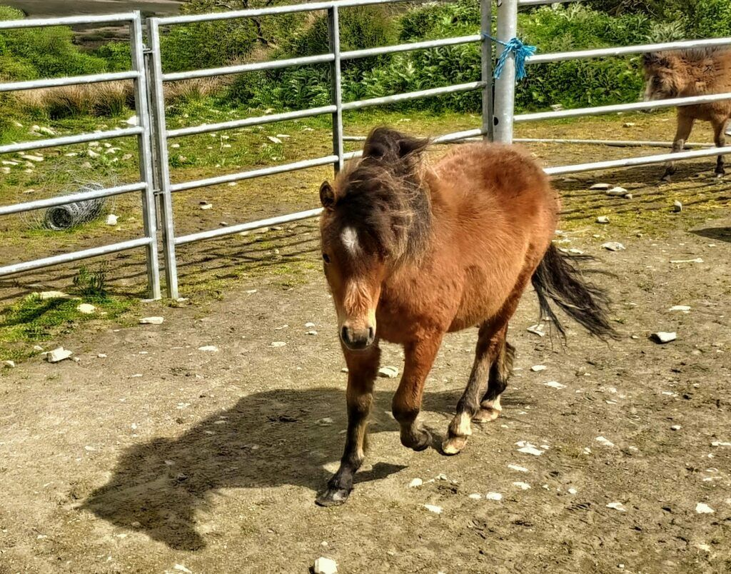 kerry bog ponies for sale