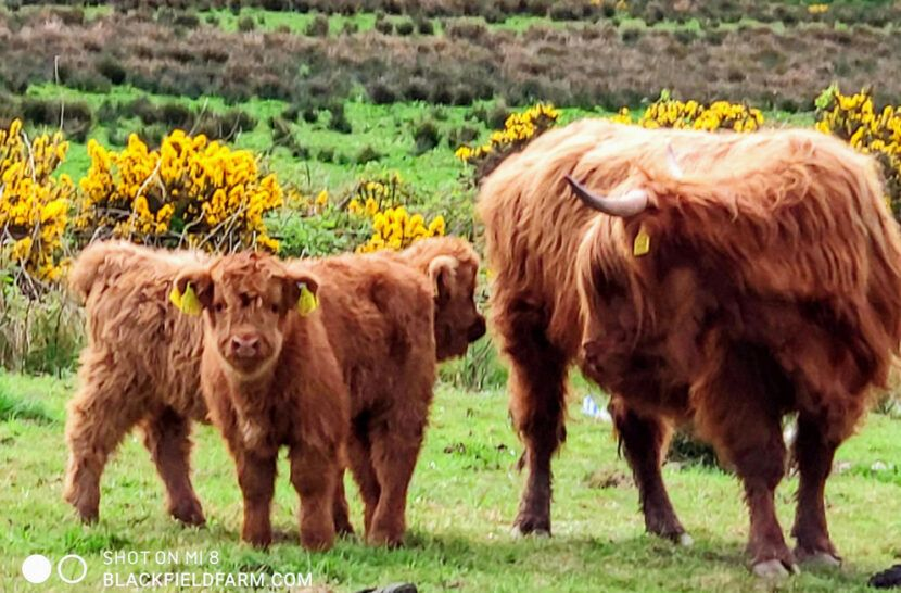 highland cattle in Ireland