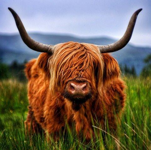 miniature highland cows