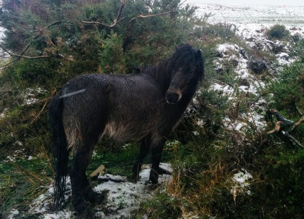 kerry bog pony in the snow at blackfieldfarm.com